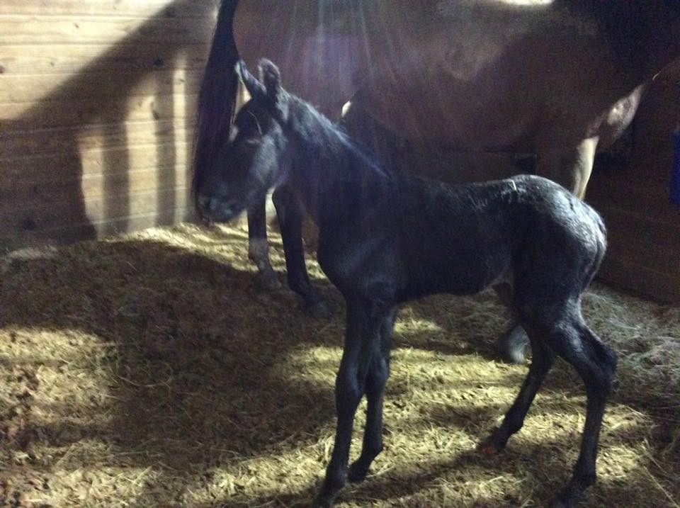 Roosters First Foal