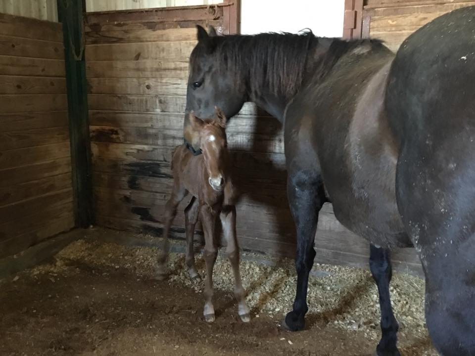 Another colt by NO PRESSURE ON ME out of RYONSFASTBUCKLEBUNNY!