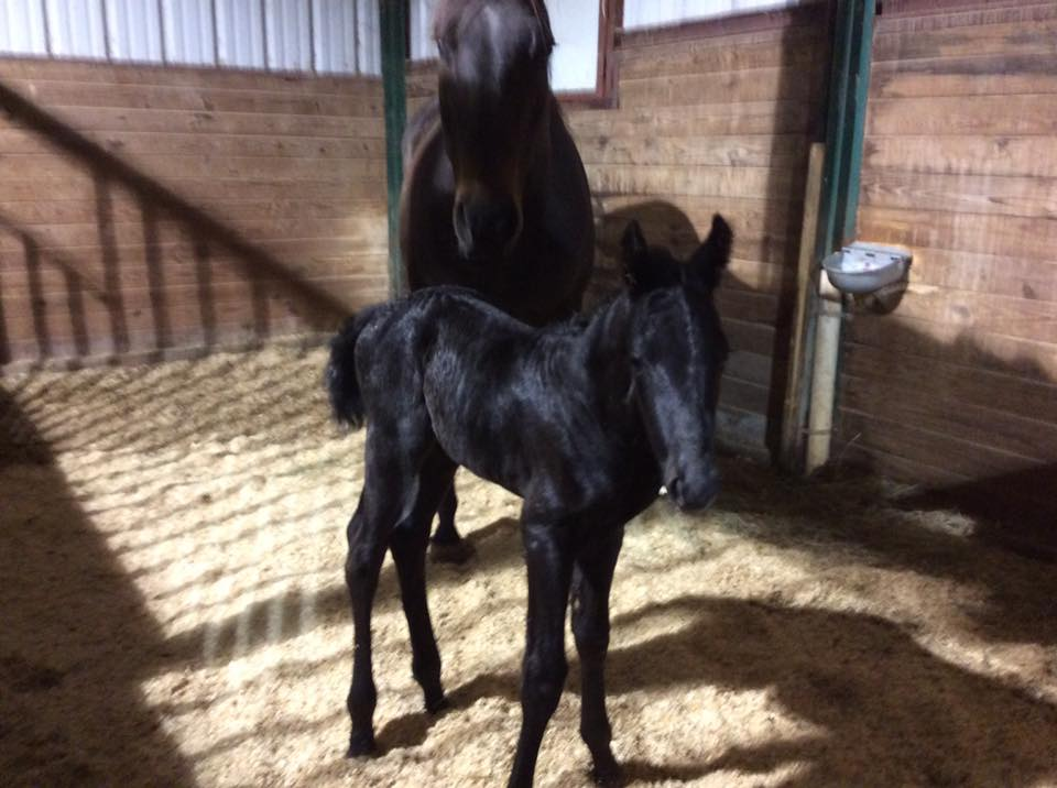 Stud colt by No Pressure On Me out of Ryonsfastbucklebunny!