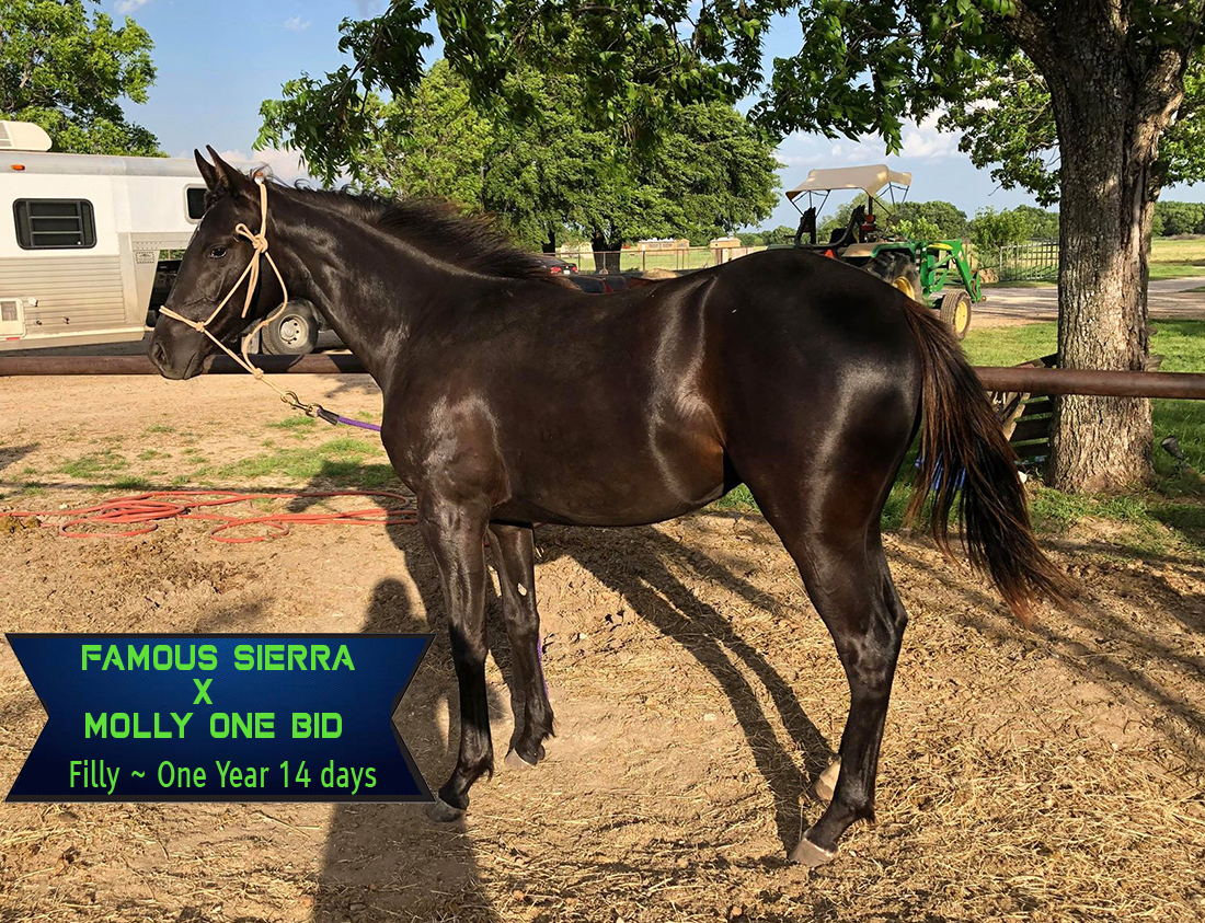 Filly by Famous Sierra out of Molly One Bid is one year  and 14 days old today.