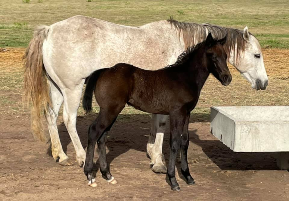 Black colt is by Happy To Runem Again by BJ Gray Kitty who is by Blue Tracker